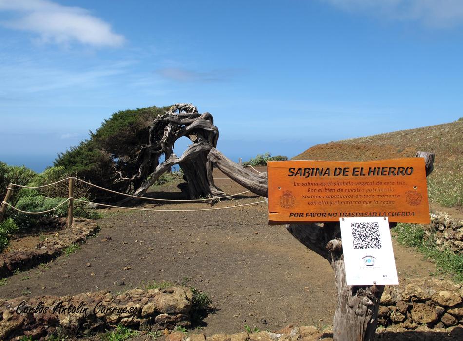 La Dehesa - sabina de El Hierro - El Hierro