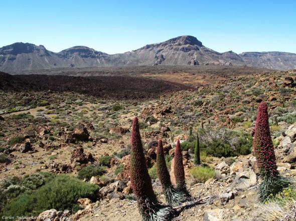 Tajinaste Rojo - Teide - Tenerife<br/>TF-21
