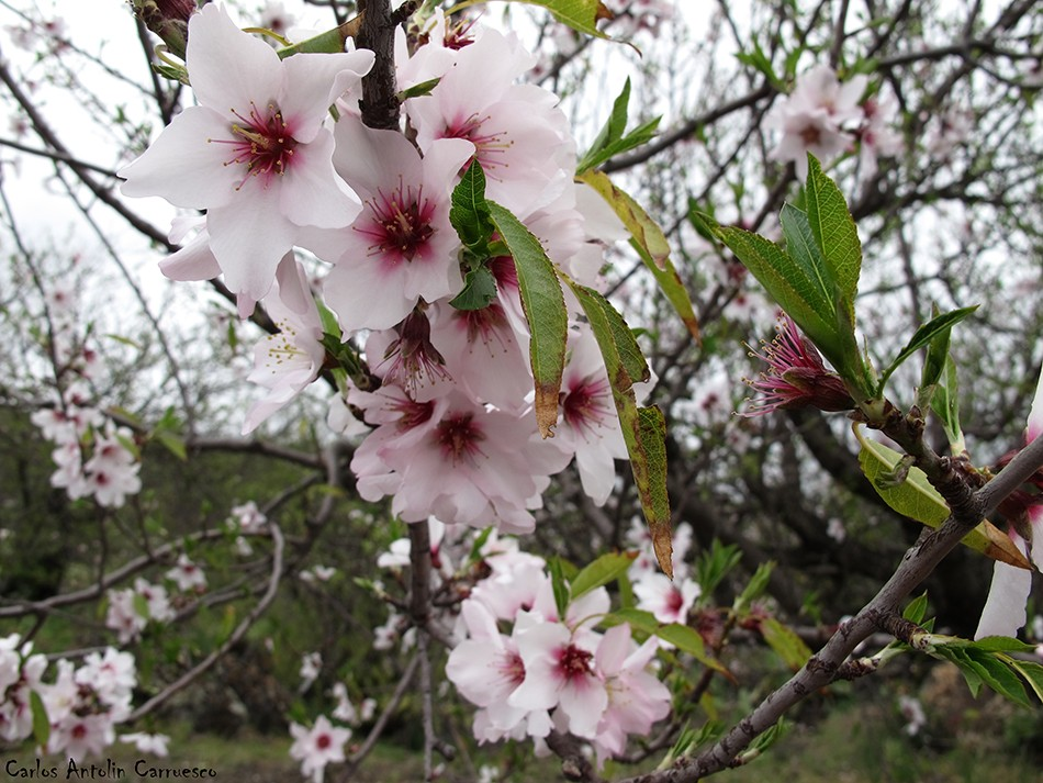 Arguayo - Ruta de los Almendros - Tenerife - flor del almendro
