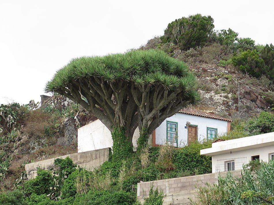 Taborno - Anaga - Tenerife - Drago