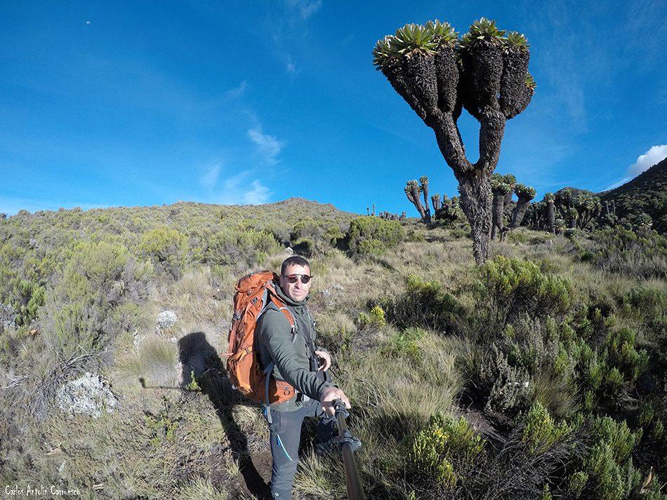 Senecio Kilimanjaro - Kilimanjaro - Tanzania