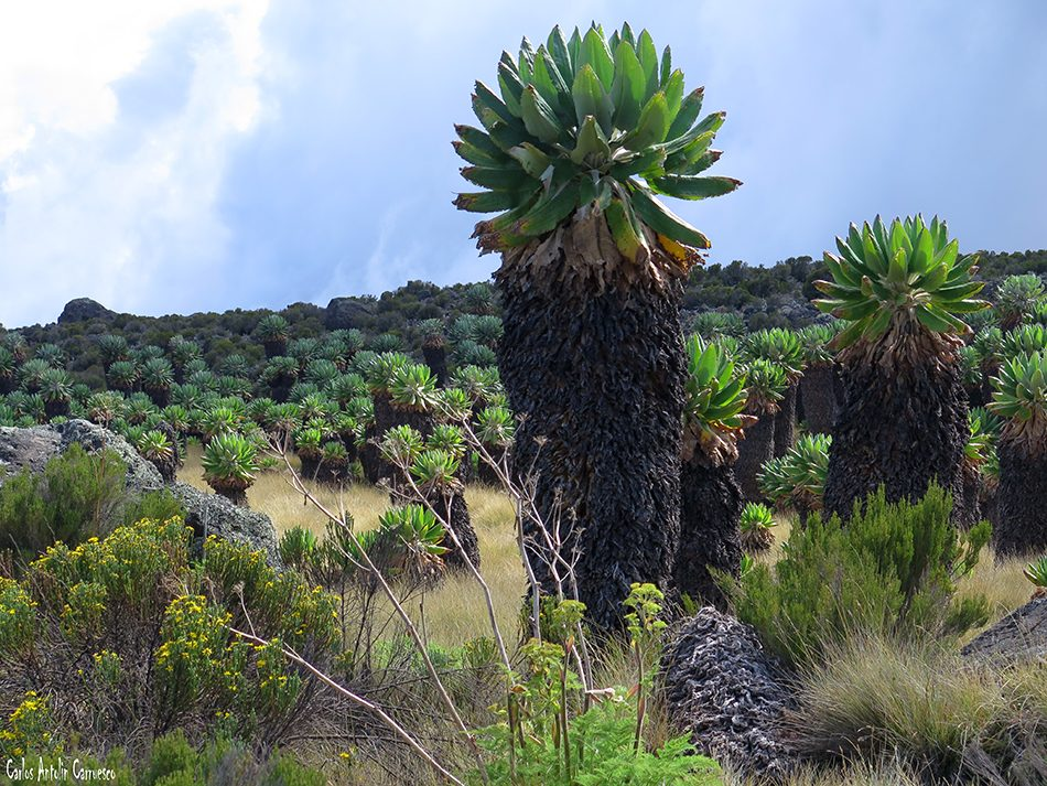 Marangu - Kilimanjaro - Tanzania - Senecio Kilimanjaro