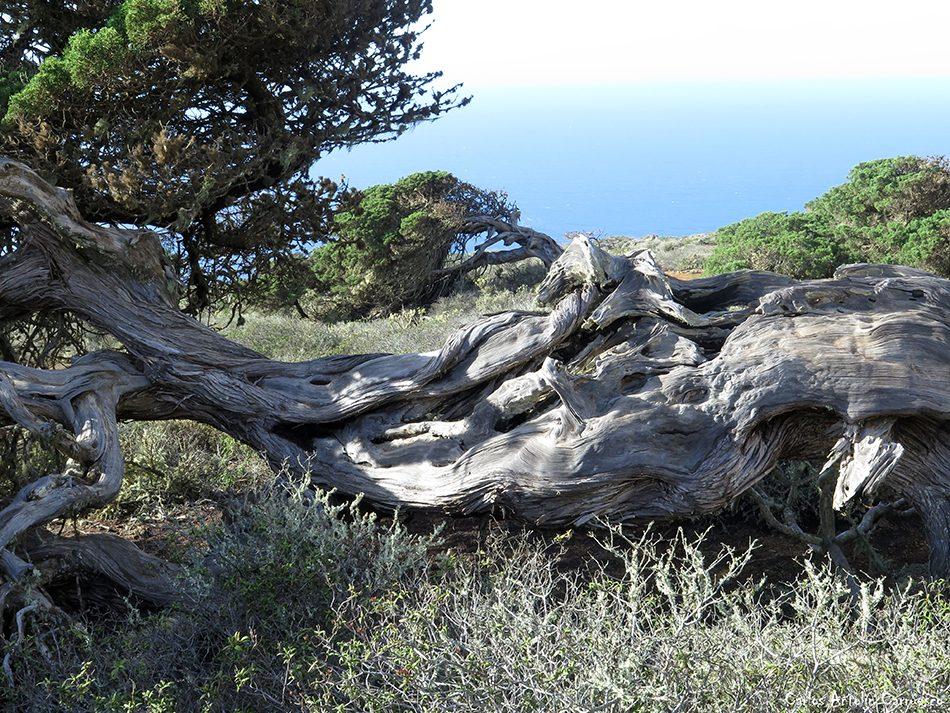 La Sabina de El Hierro - La Dehesa - El Hierro